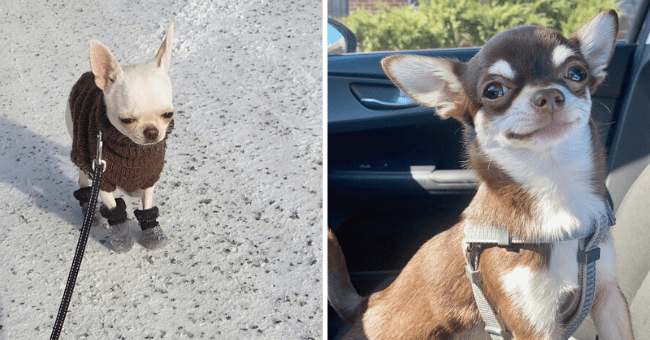 14 cute images of chihuahuas | thumbnail left picture chihuahua smiling in car, thumbnail right picture chihuahua with jacket on leash looking angry