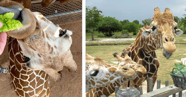 list of 15 giraffe images | thumbnail left giraffe being fed, thumbnail right one large giraffe and two small giraffes gathered close to a basket of food