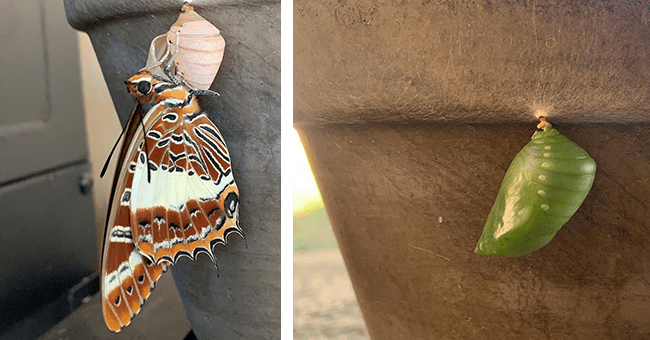 images and videos of butterfly hatching from cocoon | thumbnail left picture of freshly hatched butterfly, thumbnail right picture of cocoon