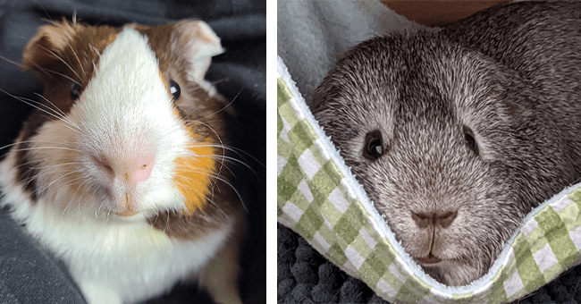 20 images of guinea pigs | thumbnail left brown and white guinea pig, thumbnail right grey guinea pig laying in cloth