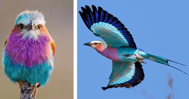 list of 6 images and 5 facts about lilac-breasted rollers | thumbnail left image of lilac breasted roller, thumbnail right lilac breasted roller in flight wings spread