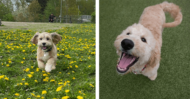 15 images of smiling dogs | thumbnail left small dog running through flowers and grass, thumbnail right smiling fluffy dog looking up sitting in grass