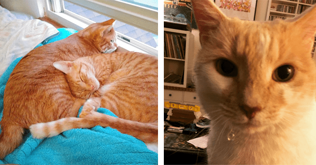 15 ginger cat images | thumbnail left two ginger cats cuddling, thumbnail right drooling ginger cat looking at camera