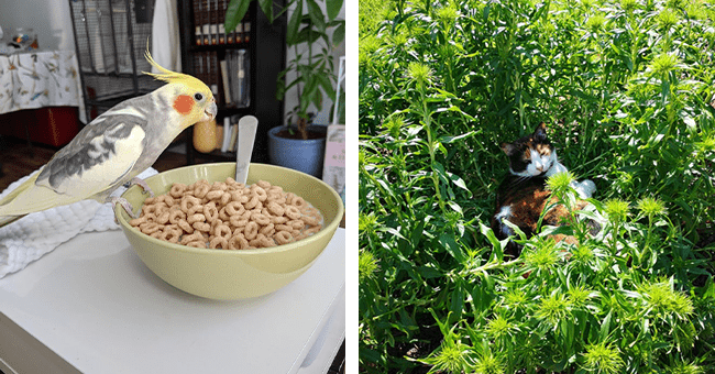 12 images and videos of pet mischief | thumbnail left parrot perched on bowl of cereal, thumbnail right large cat sitting on bed of flowers