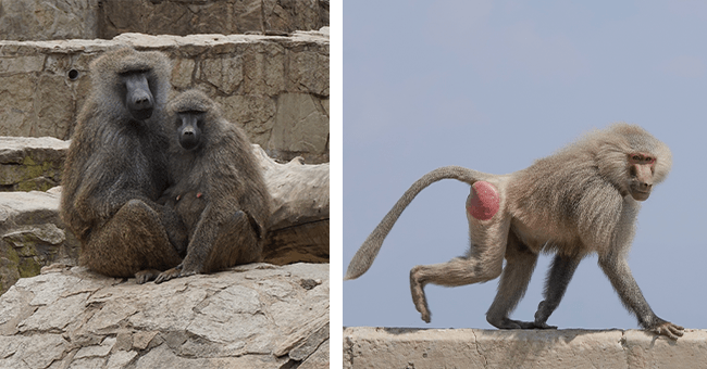 14 baboon images (informative) | thumbnail left two baboons huddled together, thumbnail right baboon on the go