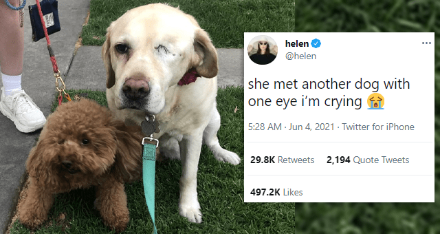 tweets showcasing one-eyed dogs | thumbnail includes a picture of two blind dogs next to each other and one tweet 'Dog - helen ... @helen she met another dog with one eye i'm crying 1 5:28 AM - Jun 4, 2021 - Twitter for iPhone 29.8K Retweets 2,193 Quote Tweets 497.2K Likes'