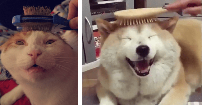 12 videos and images of pets being brushed | thumbnail left cat with brush on head fur, thumbnail right smiling dog being brushed