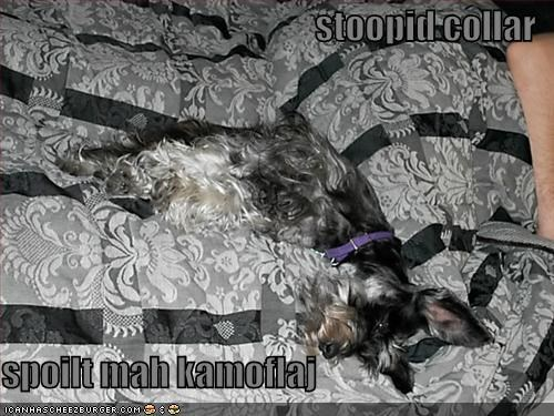 camouflage collar schnauzer sneaky - 1448032000
