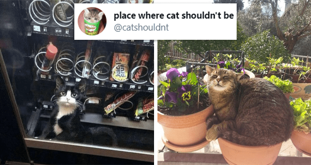 tweets of cats in places they shouldn't be | thumbnail includes two pictures including a cat sitting in a flower pot and a kitten inside of a vending machine 'place where cat shouldn't be @catshouldnt'