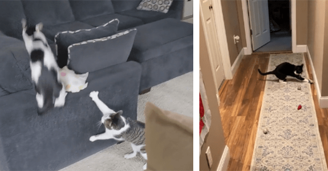 10 videos of startled cats | thumbnail left one cat chasing a startled cat, thumbnail right startled cat on rug