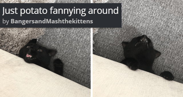 viral imgur thread of two black cats fooling around | thumbnail includes two pictures of a black cat making funny faces under the couch 'Just potato fannying around BangersandMashthekittens'