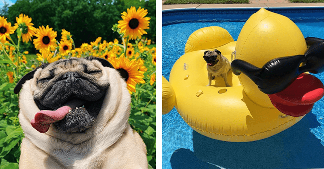18 images of pug from instagram | thumbnail left pug with tongue out in sunflower field, thumbnail right pug sitting on inflatable rubber duck in pool