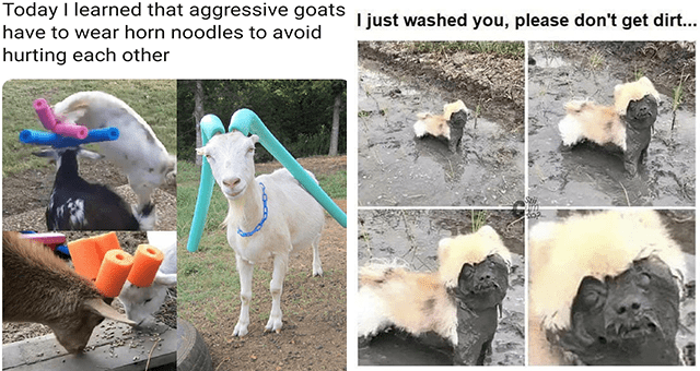 list of funny and fresh animal memes | thumbnail includes two memes including goats with noodles on their horns 'Vertebrate - Today I learned that aggressive goats have to wear horn noodles to avoid hurting each other' and a dog covered in mud 'Vertebrate - I just washed you, please don't get dirt... Sti'