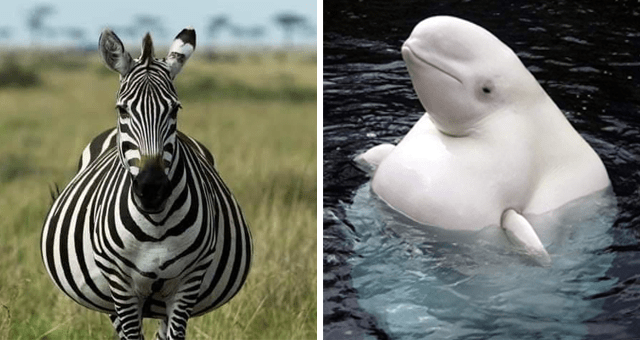 viral imgur thread of animal pregnancies | thumbnail includes two pictures including a pregnant zebra and a pregnant beluga whale