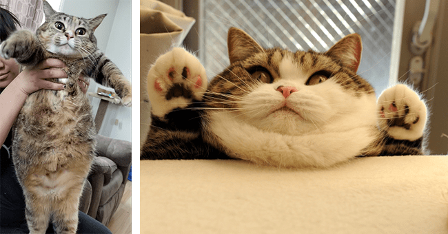 23 chonky cat humorous images | thumbnail left chonky cat being held, thumbnail right chonky cat with paws up
