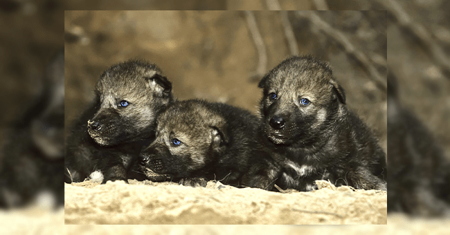 14 wolf images | thumbnail group of three wolf pups in nature