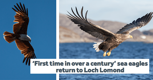 15 eagle images, scottish sea eagle resurgence | thumbnail two eagle images above water with title