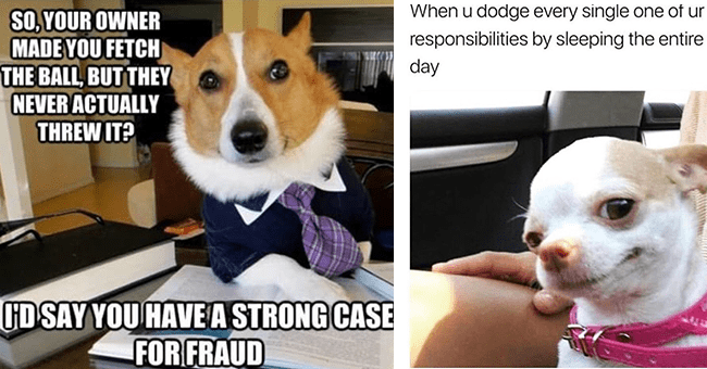 36 dog memes | thumbnail left dog lawyer meme, thumbnail right chihuahua meme slept all day