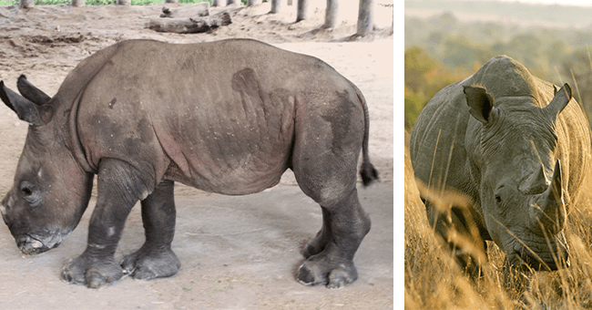 16 rhino images, new rhino born in zootampa | thumbnail left baby rhino, thumbnail right adult rhino in nature