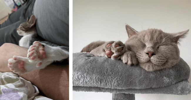 15 cat toe bean images | thumbnail left cat laying down with human toe beans features, thumbnail right cat sleeping on structure with toe beans exposed