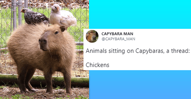 12 tweets of animals sitting on capybaras | thumbnail picture of chickens sitting on capybara with tweet text to right