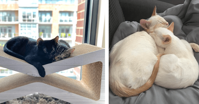 14 images of cats cuddling | thumbnail left two cats cuddling on indoor structure in front of window, thumbnail left two white cats laying down cuddling