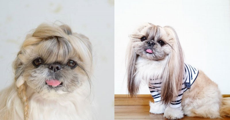 hair dogs shih tzu pekingese hairstyle goals Japan