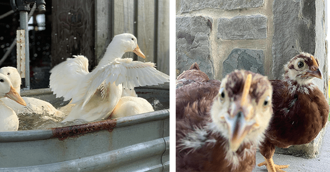 17 duck and chicken images (1 video) | thumbnail left ducks in bath, thumbnail right chickens looking at camera