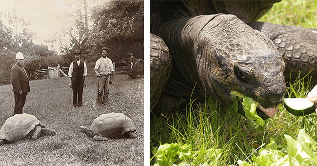 15 images of world record holder jonathan the tortoise | thumbnail left old picture of jonathan with other tortoise and men black and white, thumbnail right jonathan eating a snack