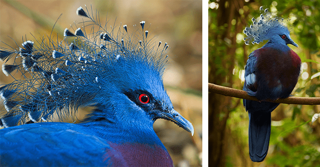 12 images of victoria crowned pigeons | thumbnail left and right images of the bird