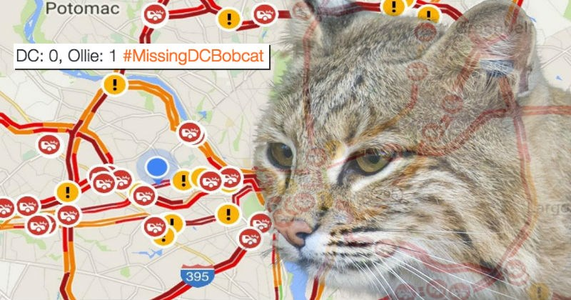 twitter escape DC zoo bobcat big cats - 1460485