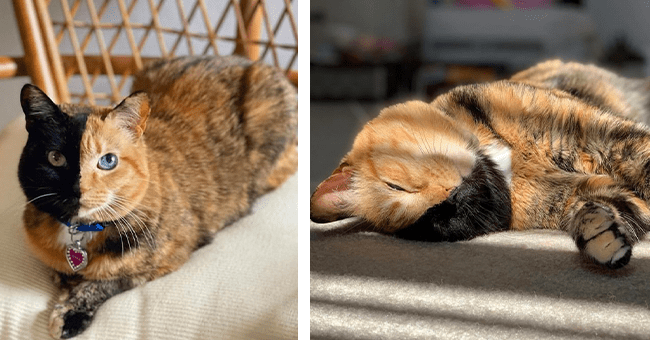 15 images of venus the two faced cat |thumbnail left venus laying on chair looking at camera, thumbnail right venus laying down