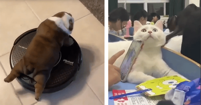 25 animals gifs | thumbnail left dog on rumba vacuum, thumbnail right cat used as phone rest to lean phone on