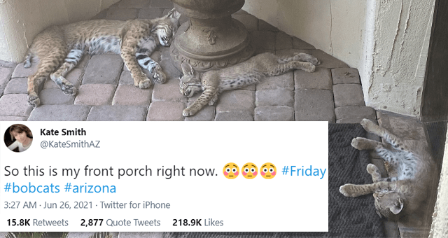tweets of wild animals checking out human's homes | thumbnail includes a picture of three bobcat kittens lying on someone's doorstep and one tweet 'Vertebrate - Kate Smith @KateSmithAZ So this is my front porch right now. #Friday #bobcats #arizona 3:27 AM Jun 26, 2021 - Twitter for iPhone 15.2K Retweets 2,819 Quote Tweets 218.2K Likes'