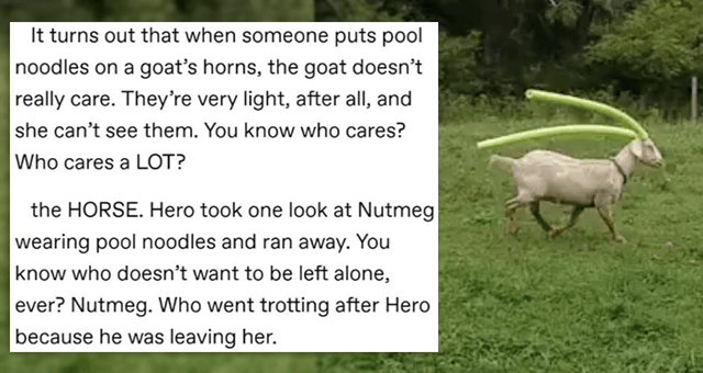 tumblr thread about an affectionate goat with pool noodles on its horns chasing and spooking a horse | thumbnail includes a picture of a goat with pool noodles on its horns and one tumblr post 'Font - It turns out that when someone puts pool noodles on a goat's horns, the goat doesn't really care. They're very light, after all, and she can't see them. You know who cares? Who cares a LOT? the HORSE. Hero took one look at Nutmeg wearing pool noodles and ran away. You know who doesn't want to be l'