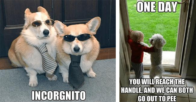22 dog memes | thumbnail left two corgi memes, thumbnail right dog and baby meme