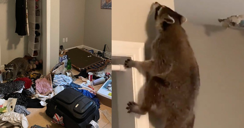 A wild Twitter thread about a woman coming home to realize that a raccoon has posted up in her room.
