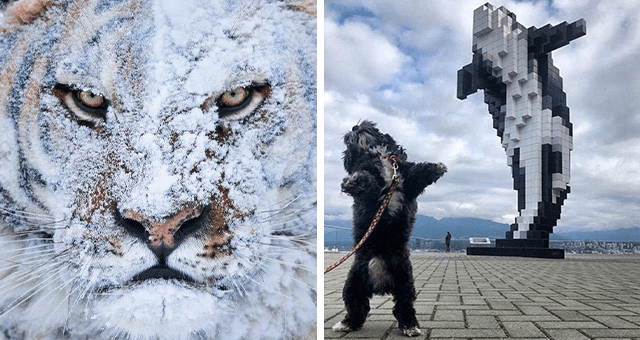this week's collection of pictures that are worth more than 1000 words | thumbnail includes two pictures including a tiger covered in snow and a dog imitating a whale sculpture
