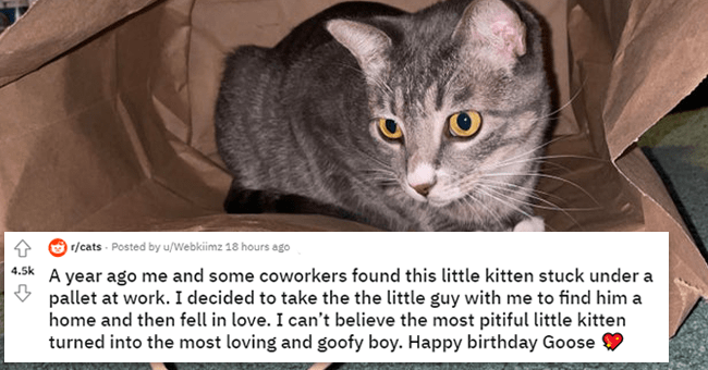 12 images and text about goose the cat rescue | thumbnail picture of goose the cat with text in foreground