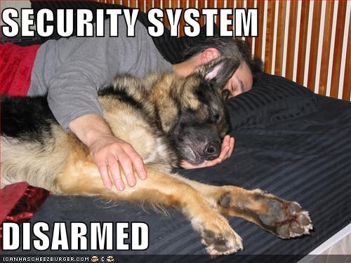 bed cuddling disarmed german shepherd security sleep sleeping - 1469586176