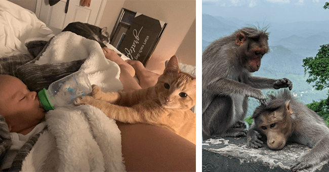 12 images and video of animal friendships | thumbnail left cat feeding baby bottle, thumbnail right one monkey giving a massage to another monkey