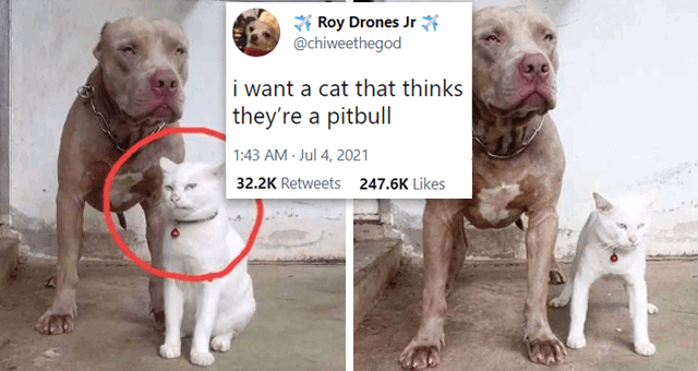 This week's collection of cat tweets | thumbnail includes two pictures of a cat acting like a dog and one tweet 'Dog - Roy Drones Jr @chiweethegod i want a cat that thinks they're a pitbull 1:43 AM Jul 4, 2021 Twitter for iPhone 32.2K Retweets 2,082 Quote Tweets 247.6K Likes'