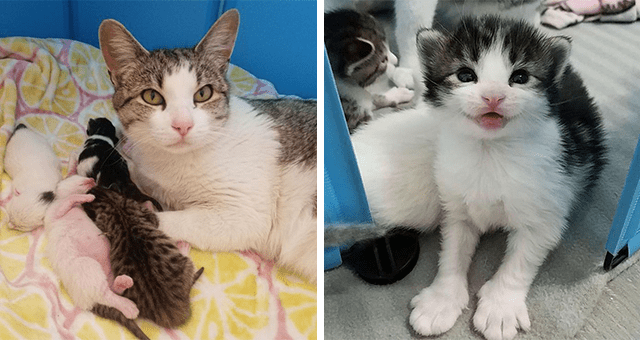 story of a pregnant stray cat asking a person for help | thumbnail includes two pictures including a kitten with large paws as well as a mom cat lying next to five newborn babies
