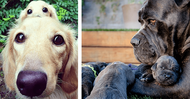 33 images of dog parents and puppies | thumbnail left parent-pup duo with beady eyes, thumbnail right parent dog embracing puppy