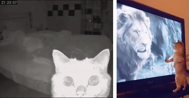 5 instagram cat videos | thumbnail left cat looking at night camera, thumbnail right cat looking at lion on tv