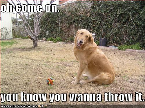 golden retriever,outside,plz,toy