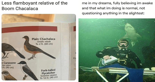 list of funny and fresh animal memes | thumbnail includes two memes including a bird book 'Bird - Peter A Brannen @PeterBrannen1 Less flamboyant relative of the Boom Chacalaca Plain Chachalaca Ortalis vetula To 2 ft. (60 cm) Cn t Curassow Crax rubra 3 ft. (90 cm) Fork-tailed Flycatcher Tyran' and a man ironing underwater in front of a shark 'Underwater diving - funkylittlegoblin me in my dreams, fully believing im awake and that what im doing is normal, not questioning anything in the slightest'