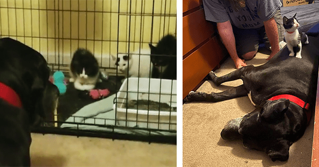 12 image of great dane and kitten introduction | thumbnail left dog peering into kittens cage, thumbnail right kitten sitting on dog