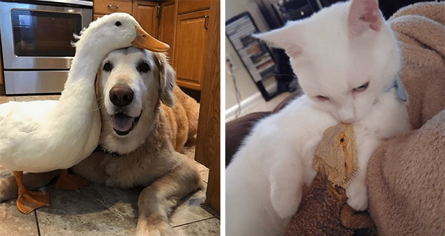 pictures of interspecies animal friendships | thumbnail includes two pictures including a duck placing its head on a dog and a cat cuddling a lizard
