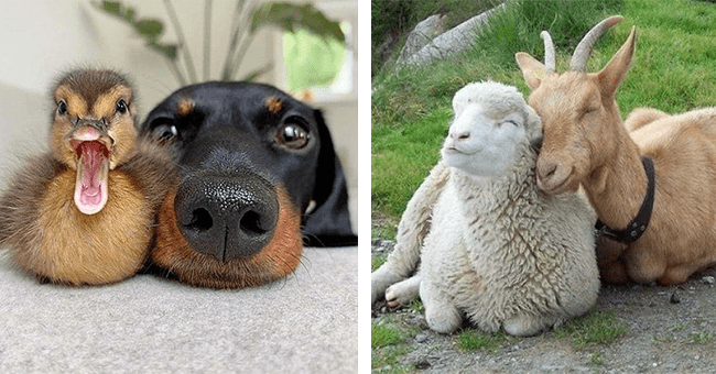 15 image of animal friendships | thumbnail left picture of dog and duck, thumbnail left lamb and goat